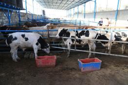 الزراعة تتلف أربع أبقار حليب مخالفة للمعايير الصحية