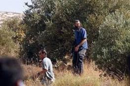 مستوطنون يسرقون ثمار 900 شجرة زيتون جنوب نابلس