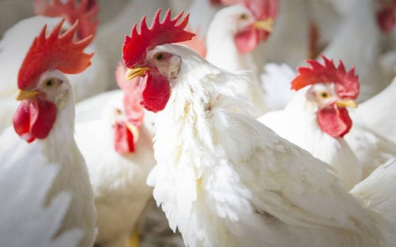 أسعار الدجاج في أسواق غزة صباح اليوم الأربعاء