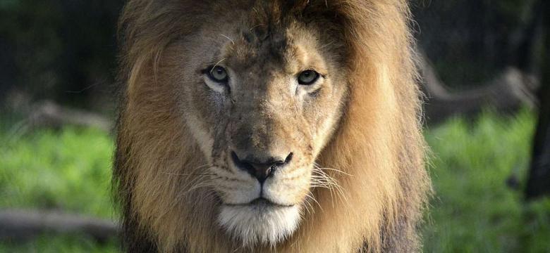 """""""تجارة القسوة"""".. تقرير يكشف معاناة الأسود والنمور قبل قتلها"""