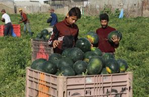 موسم قطف البطيخ في غزة