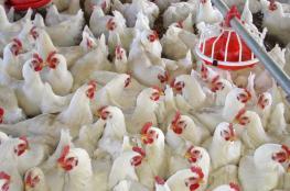 أسعار الدجاج اليوم الأربعاء في غزة
