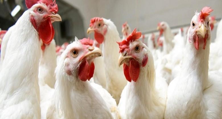 تعرف/ي على أسعار الدجاج في أسواق غزة اليوم 20/1/2020