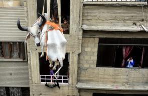 باكستاني يستعين برافعة لإنزال عجول يربيها على سطح منزله