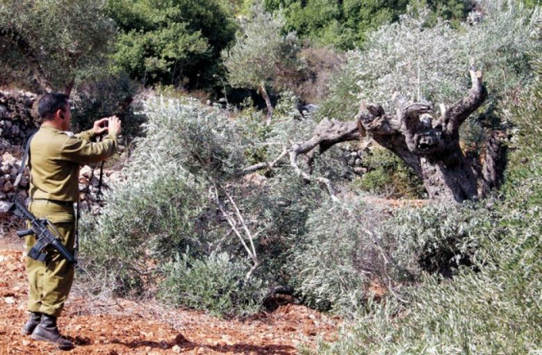 الاحتلال يقتلع أكثر من 60 شتلة زيتون شرق طوباس