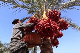 """""""فلسطين الآن"""" ترصد موسم جني البلح في قطاع غزة"""