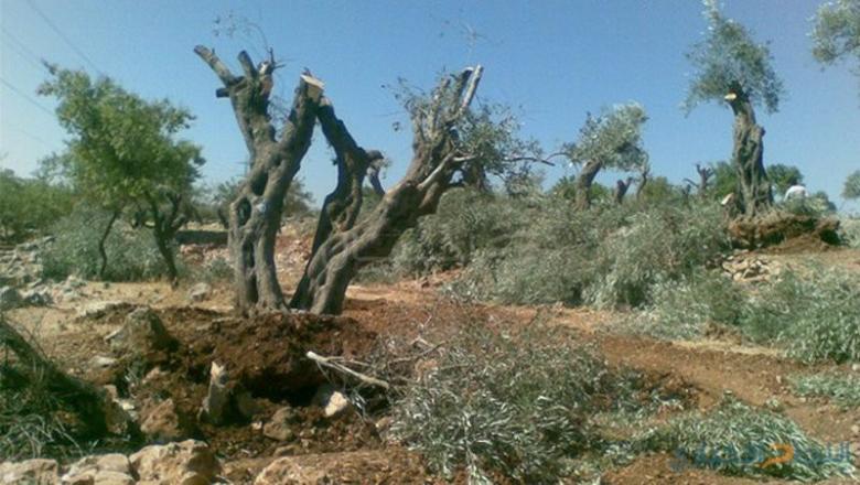 مستوطنون يقتلعون أشتال زيتون غرب الخليل