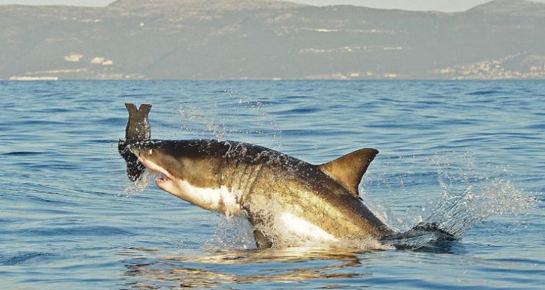 العثور على سمكة قرش عمرها 4 قرون بغرينلاند