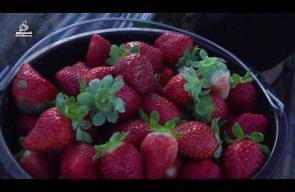 غزة تصدر ثمار الفراولة لدول الخليج وأوروبا