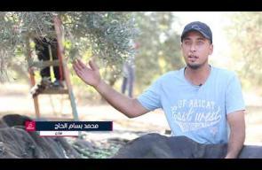 موسم الزيتون في غزة.. تاريخ وعطاء وانتماء