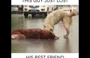 وفاء كلب لصديقه بعد تعرضه للدهس من سيارة