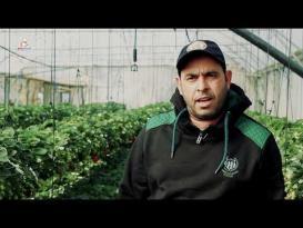 موسم الفروالة في غزة