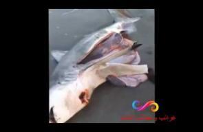 عمل عملية قيصيرة لسمكة ميتة