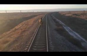 جمل يركض أمام القطار في روسيا ويعيق تقدمه
