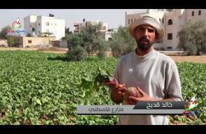 البروكلي والشمندر مزروعات تنتج لأول مرة في غزة