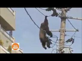 شمبانزي تصعقه كهرباء الضغط العالي