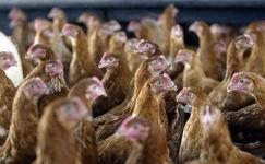 ينطلق الفيروس القاتل من مزارع الدجاج