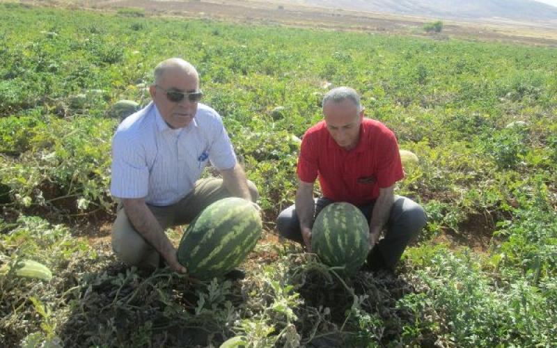 """بالصور: """"حرب البطيخ"""" تشتعل في فلسطين"""