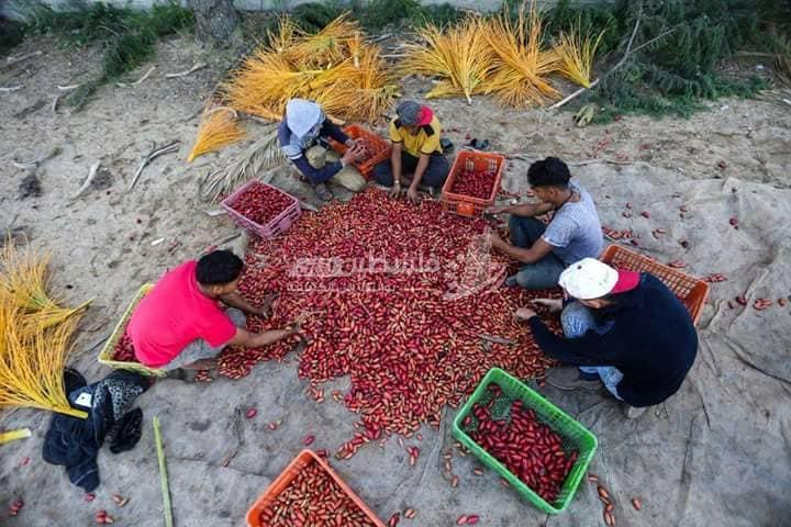 بلح غزة بين معوّقات التصدير وأضرار البيع الداخلي