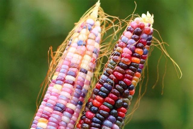 الذرة الملونة في تركيا