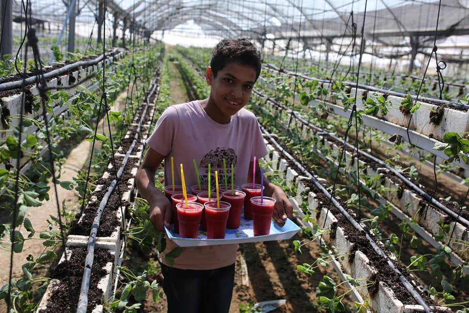 """الزراعة تفتتح موسم العودة 2018 لإنتاج """" الفراولة """""""